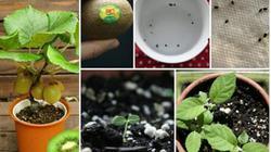 Trổ tài trồng kiwi tại gia: Siêu tốt, siêu tiết kiệm