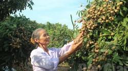 Sau vải thiều, nhà vườn Bắc Giang đón mùa nhãn bội thu