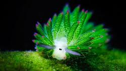 Sinh vật biển gây sốt với vẻ ngoài giống cừu, thỏ