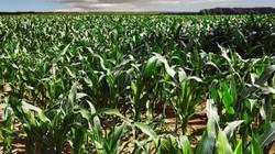Chế độ tưới nước thích hợp nhằm tăng năng suất cây ngô