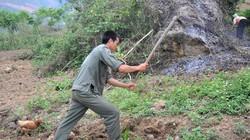 Trồng sắn gắn với bảo vệ rừng