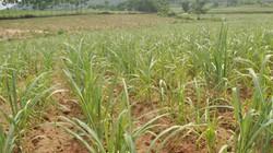 Đầu tư tiền làm đất và trồng mới 10 triệu đồng/ ha mía