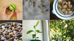 Mách bạn cách trồng chanh tại gia dễ như trở bàn tay