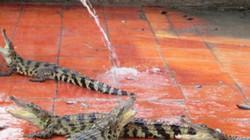 Ồ ạt nuôi cá sấu, bất chấp đầu ra