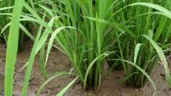 Mẹo điều tiết nước vừa tiết kiệm, vừa chống đổ ngã cho cây lúa