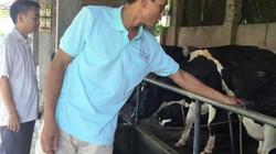 Đột phá trong chăn nuôi bò sữa ở Tiên Du