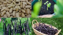 Ít đất vẫn trồng được đậu cô ve tím cực sai quả