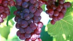 Bí quyết trồng nho cho trái căng tròn, mọng nước, ít sâu bệnh