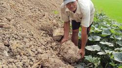 """""""Xé rào"""" liên tục làm mỗi năm 3 vụ lúa: """"Vắt"""" đất đến kiệt sức"""