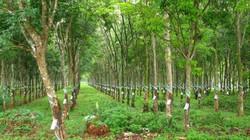 Quảng Nam: Mở rộng diện tích cây cao su