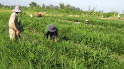 Thấy lãi trăm triệu, nông dân ồ ạt đốn quýt để trồng gừng