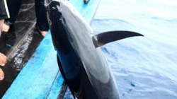 Thời tiết ủng hộ ngư dân khai thác cá ngừ đại dương