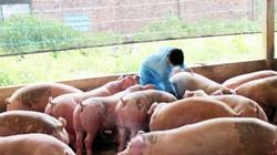Phát hiện nhiều vụ dùng chất cấm tăng trọng lợn