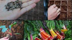 """""""Bỏ túi"""" cách trồng cải cầu vồng siêu ngon-bổ-đẹp"""