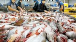 Giá cá tra xấp xỉ giá thành sản xuất