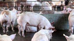 """""""Đánh"""" chất cấm trong chăn nuôi như công an """"đánh"""" ma túy"""