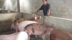 Vượt khó, làm giàu từ lợn thịt