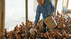 """Chăn nuôi gia cầm: """"Sống khỏe"""" với TPP?"""