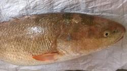 Vì sao cá sủ vàng Việt Nam có giá 1 tỷ/con?