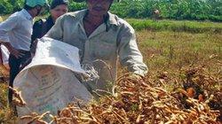 Nắng hạn và chất lượng giống ảnh hưởng năng suất đậu nành?