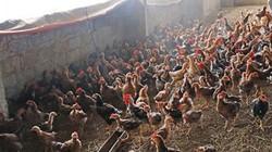 Thu tiền tỷ từ mô hình nuôi gà và cá trê phi