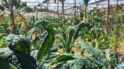 """Lạc vào xứ sở rau cải """"khổng lồ"""" siêu lạ ở Đà Lạt"""