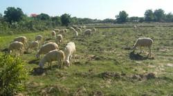 Ninh Thuận: Sau mưa, cừu tăng giá lên 75.000 đồng/kg