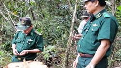 Nhiều cơ quan vào cuộc vụ phá rừng pơ mu tại Quảng Nam