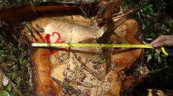 Vụ phá rừng pơ mu: Đề nghị phía Lào khởi tố vụ án