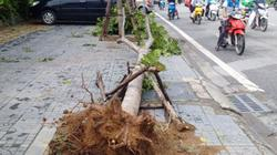 Sau bão số 1, cây xanh Hà Nội bật gốc, lộ bầu bọc nilon
