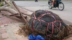 """Chủ tịch Hà Nội: """"Cây trồng còn bó nguyên rễ không thể sống được"""""""