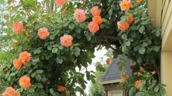 Chiêm ngưỡng những ngôi nhà có cánh cổng hoa hồng đẹp như cổ tích