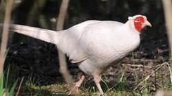 """Trĩ trắng - loài chim tuyệt đẹp có tài giao phối """"thiên hạ vô địch"""""""