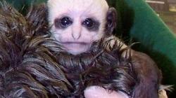 Khỉ mới sinh có khuôn mặt như Chúa tể hắc ám