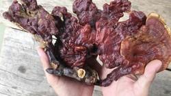 Hiếm hàng, nấm lim xanh đội giá trên 2 triệu đồng/kg