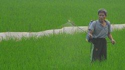 Bệnh bạc lá rầm rộ tấn công lúa mùa