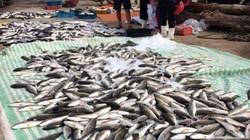 Vụ cá chết ở Thanh Hóa: Viện nghiên cứu Hải Sản vào cuộc