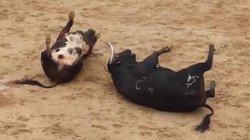 Video: Húc nhau một cú sấm sét, hai bò tót lăn quay chết thẳng cẳng