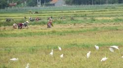 """Nồng nàn mùa gặt ở xứ """"hoa vàng trên cỏ xanh"""""""