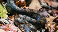 Ra thăm vườn bỗng giẫm phải rắn xiết mồi dài 1,2m
