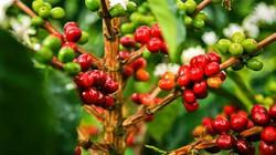 Giá nông sản hôm nay 3.7: Cà phê có cơ hội tăng giá mạnh, tiêu sẽ tăng?