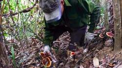 Nhóm thợ xuyên rừng sâu săn lùng nấm lim xanh