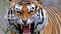 """Con hổ """"quỷ dữ"""" giết 430 người, khủng khiếp nhất châu Á"""