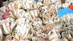 Quảng Ngãi: 50 triệu đồng/con sò tai tượng, người dân lén khai thác