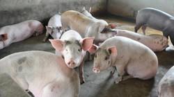 Thương lái Trung Quốc đang mua lợn trở lại