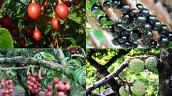 Sửng sốt cây ra quả chi chít ở thân: Lạ mà quen, quen mà lạ