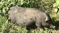 """Giống lợn """"miễn nhiễm"""" với cảnh rớt giá, ế ẩm của thị trường"""