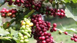 Giá nông sản hôm nay 7.7: Cà phê tiến xa mức 46.000 đ/kg, tiêu thêm khó?