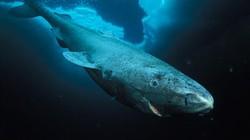 """Cá mập 400 tuổi có thể giúp con người sống """"bất tử""""?"""