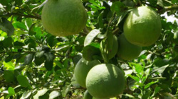 """Bưởi da xanh """"Nữ hoàng trái cây miền Tây"""" trúng giá, thu tiền tỷ/ha"""